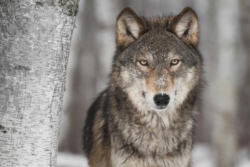 Záhadná proměna: Jak se z vlka stal pes