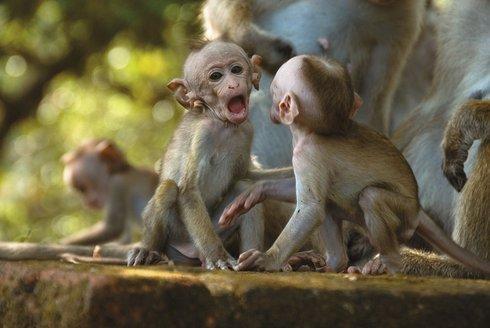 Válka gangů, co mají opice společného s lidmi?