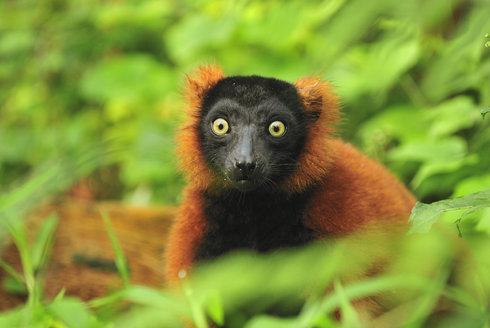 Nejezte lemury! Ohrožení primáti Madagaskaru