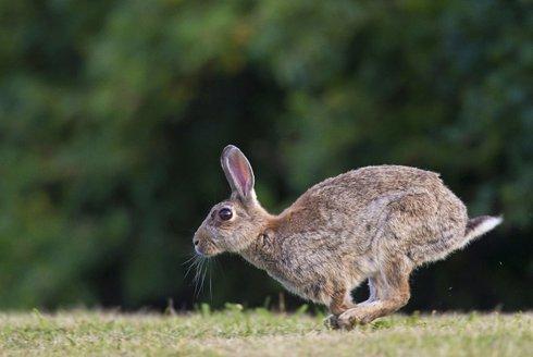 Ušatá hádanka: Kdo zdomácněl králíka?