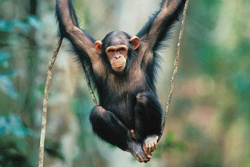 Šance pro lidoopy? Sčítání goril a šimpanzů