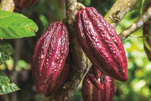 Čokoládová cesta: Dar amazonských indiánů