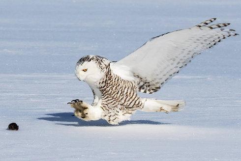 Horko v Arktidě: Přežije sova Harryho Pottera?