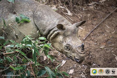 Nosorožec jávský: Vzácné setkání se vzácným druhem