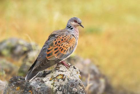 Ztracená hrdlička: Pták roku 2019