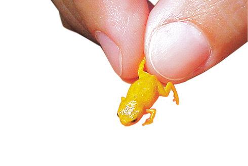 Živé lucerničky: Žáby, které se umí rozsvítit