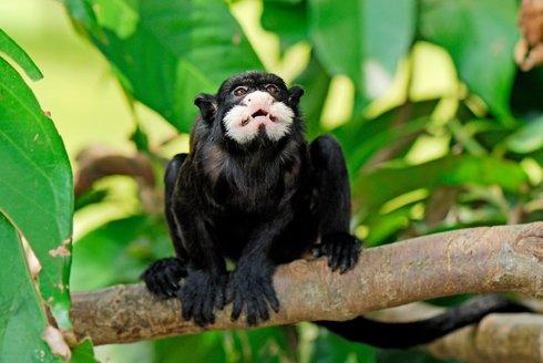 Tamaríni v akci: Drápkaté opičky sázejí les