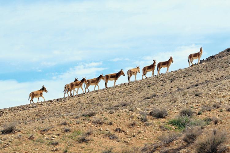 Kočičí osli