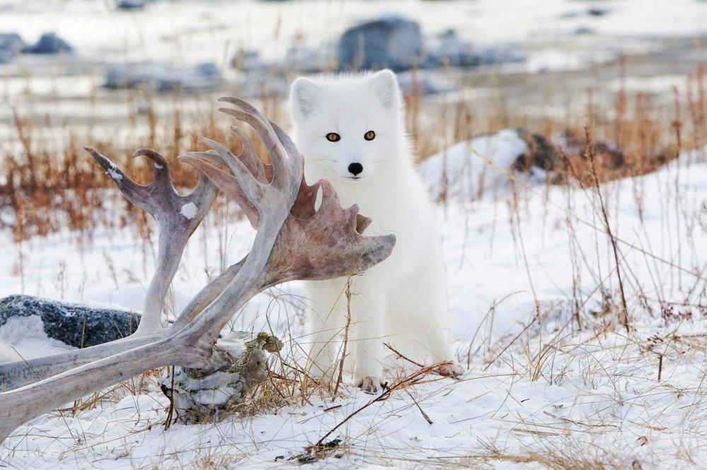 Těžký život v tundře  Polární lišky se přidávají k ledním medvědům 2661490a0e