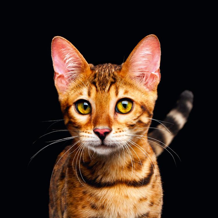 Chlupatá africká kočička galerie