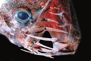 paraziticka ryba