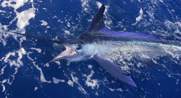 Plavečtí rekordmani: nejrychlejší ryba, savec a pták