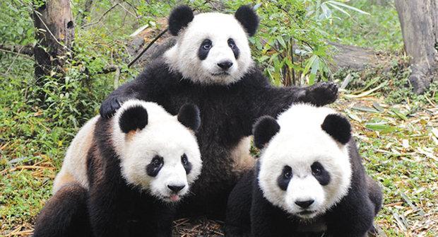 Netradiční velvyslanci: Pandí diplomacie