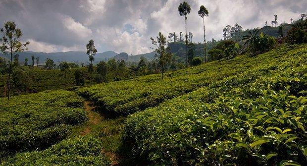 Pohled do světa: Na čajové plantáži