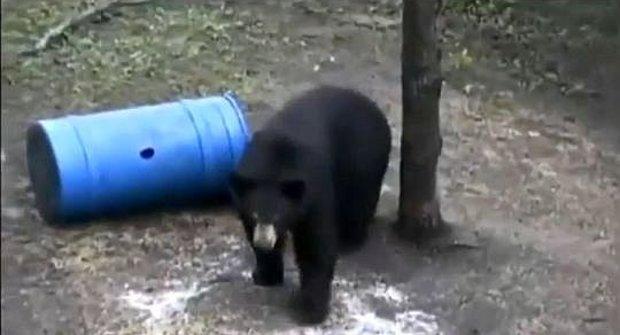Medvěd: Ze země na strom zrychlením 5m/s!