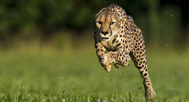 Nejrychlejší gepard na světě