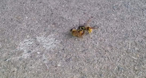 Nechutná příroda: Vosa řeže včelu