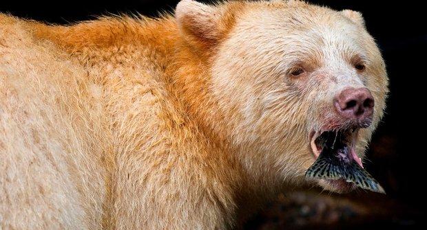 """Medvědí """"duch"""" není mýtem z indiánských legend"""