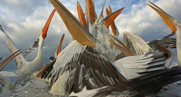 Bitka pelikánů vypadá jako pozdrav z pravěku