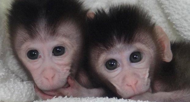 """Čínští vědci """"vytunili"""" opičky: Jsme blíž k dětem """"na zakázku""""?"""