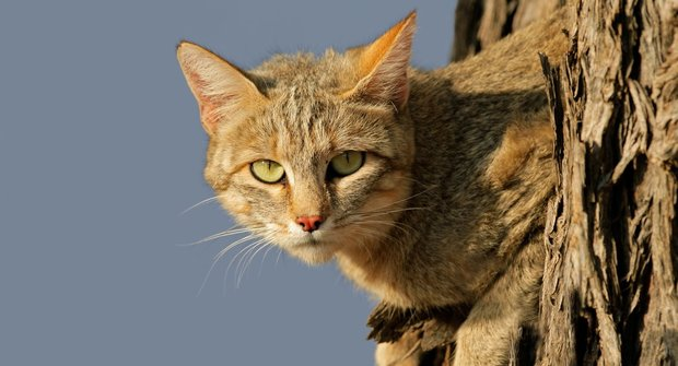 Kde se vzala kočka: Záhada cesty k lidem