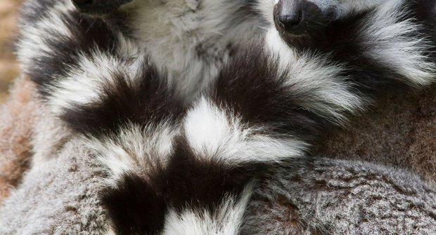Jeskynní poloopice: Lemuři spí jako naši předkové