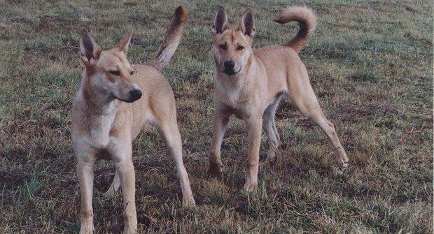 Dingové ve válce: Poslední šelmy v Austrálii