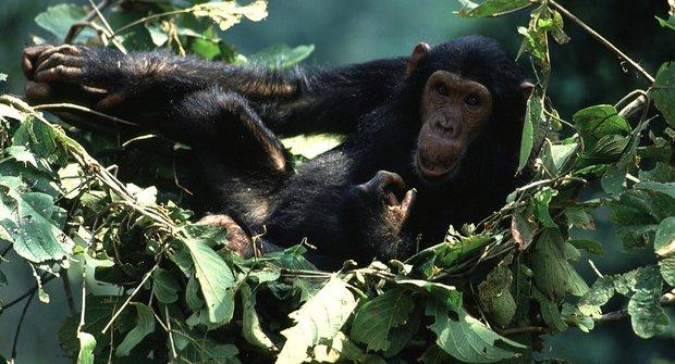 Záhada šimpanzí postele
