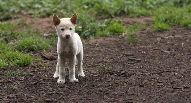 Nový druh pes dingo: : 300 let stará záhada vyřešena