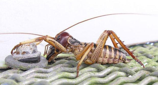 Weta: Podivné novozélandské kobylky
