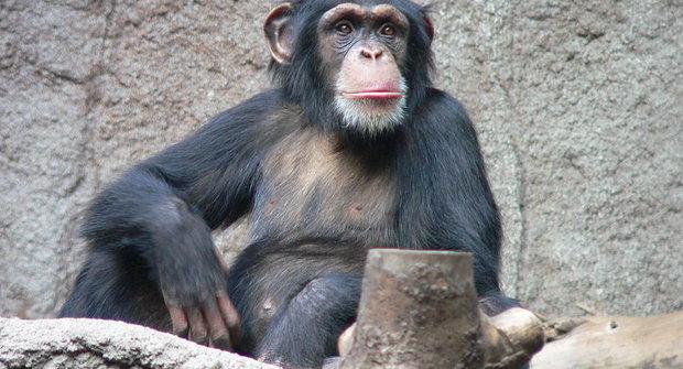 Šimpanzi a jejich oblíbené nástroje: Na ryby? Ne, na mravence!