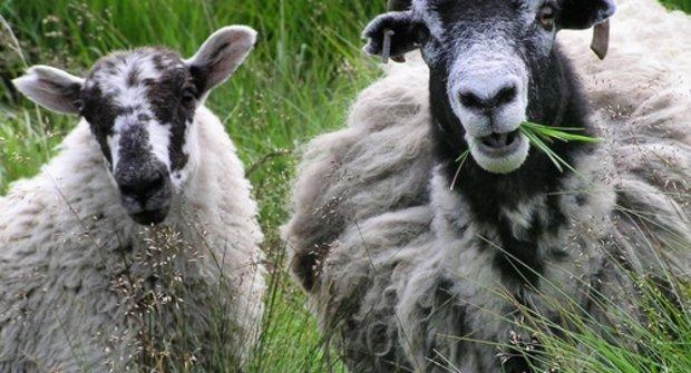 Do země ovcí: Když to nejde jinak, ozývá se BÉÉÉ!!!