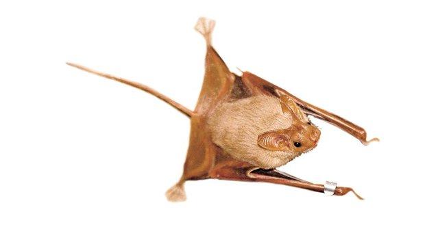 Netopýr příživník: Potvůrka mazaná