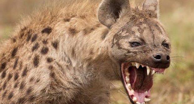 Tajná zbraň hyen: Buldočí stisk