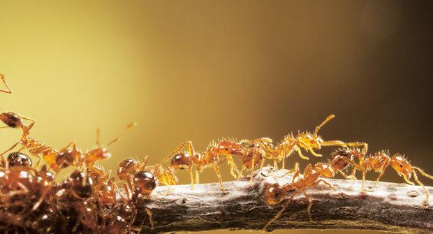 Hmyzí dobyvatelé: Zámořské plavby ohnivých mravenců