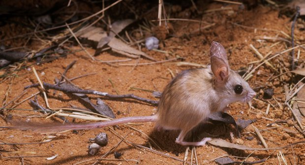 Neobvyklí strážci: Myši pod ochranou dingů