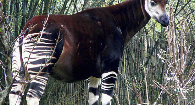 Tajemná okapi: Příbuzná žirafy existuje!