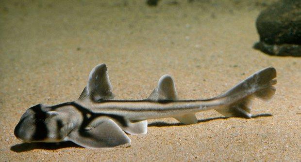 Hrdinové i třasořitky: Žraloci mají svou osobnost