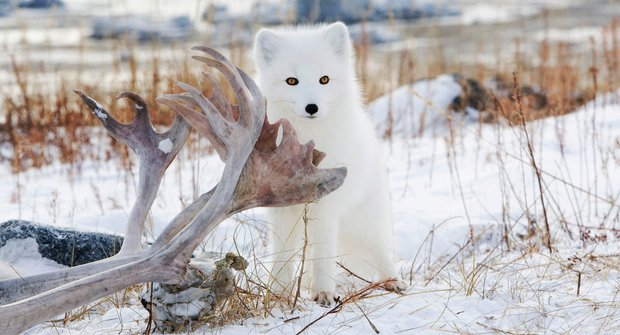 Těžký život v tundře: Polární lišky se přidávají k ledním medvědům