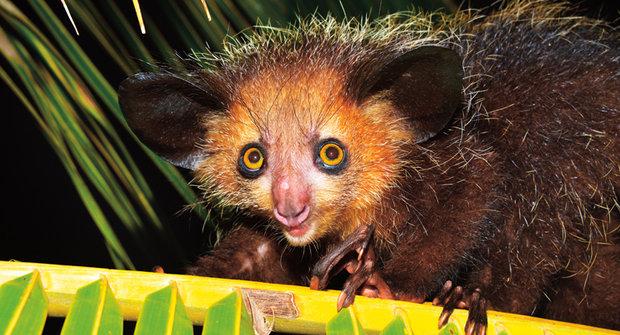 Ksukol a outloň: Nejpodivnější primáti neodolají alkoholu