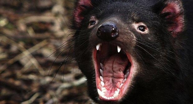 Do Tasmánie za ďábly