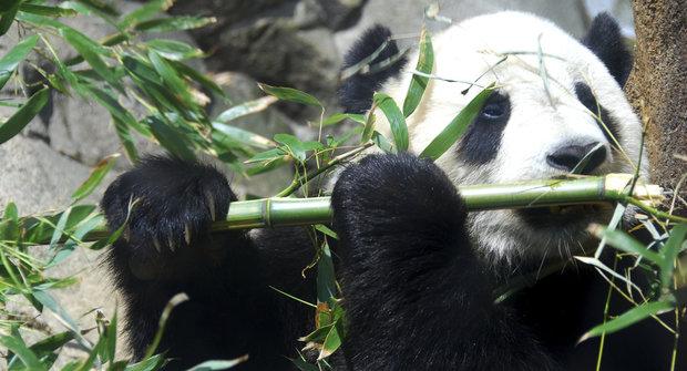 Zachráněné pandy? Malé vítězství a nejistá budoucnost