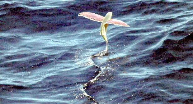 Ryby ve vzduchu: Volné jako pták?