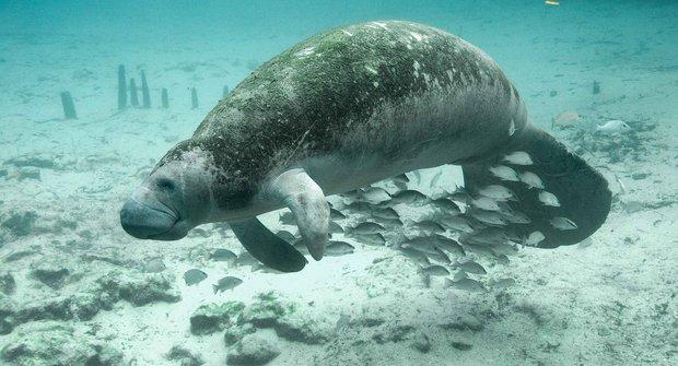 Původ mořských panen: Sirény jsou skutečné