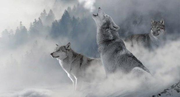 Losi versus vlci