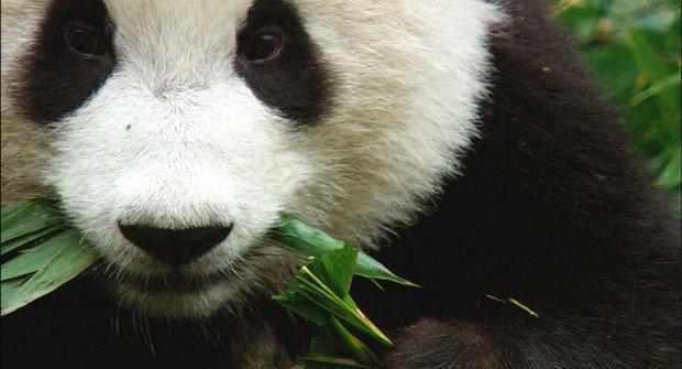 Panda velká: Návrat z propasti