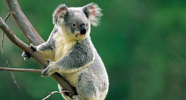 Záhadné zmizení: Marné hledání koalů