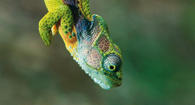 Trpasličí chameleoni: Jak funguje přírodní výběr