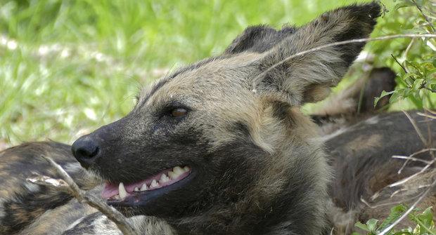 Kýchající psi: Obávaní dravci z Afriky