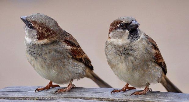 (Ne)obyčejný vrabec: Boj s těžkým osudem